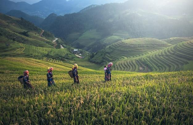Agricultor no terraço de arroz, vietnã
