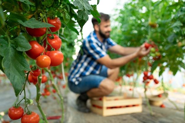 Agricultor pegando vegetais frescos de tomate maduro e colocando em uma caixa de madeira
