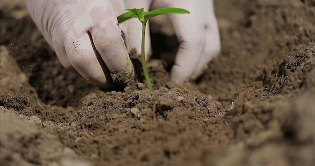 Agricultor planta mudas verdes com as mãos na agricultura orgânica terrestre e no conceito de jardinagem na primavera.