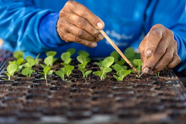 Agricultor plantando plantas de tabaco verde