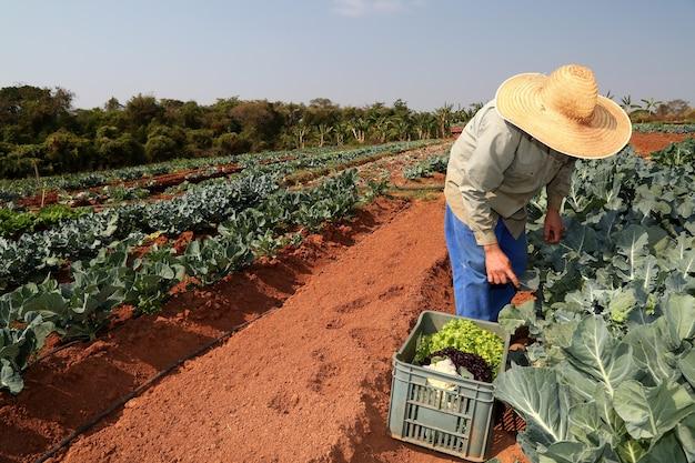 Agricultor plantando repolho na horta orgânica.