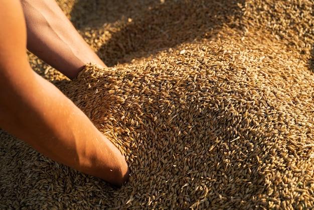 Agricultor segura o grão de cevada nas mãos