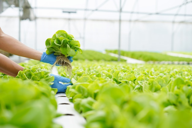 Agricultor segurando e verificando legumes frescos na fazenda de hidroponia com efeito de estufa.