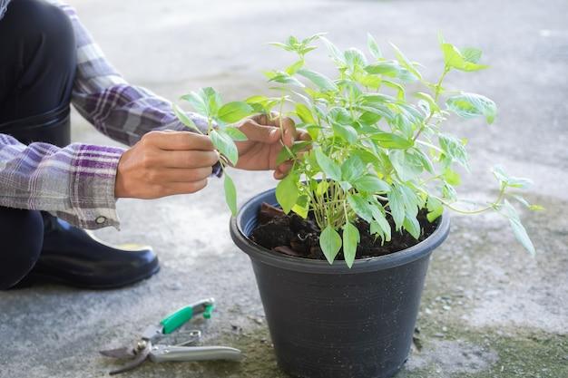 Agricultor segurando galho de manjericão com árvore de manjericão em um vaso de plástico preto. experimento de cultivo de vegetais orgânicos. não use produtos químicos. erva na tailândia. agricultura moderna para o conceito de boa saúde.