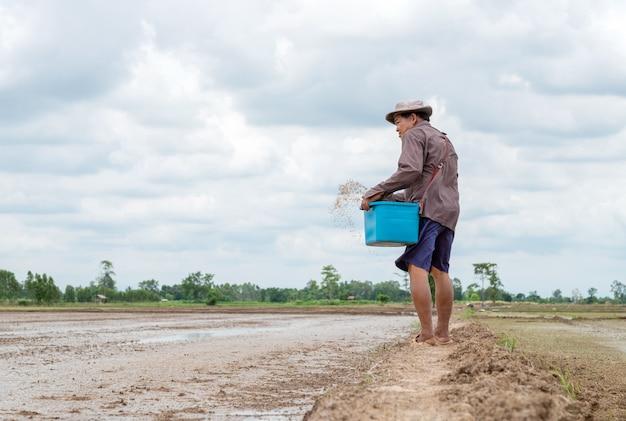 Agricultor sênior asiático semeia sementes de arroz em uma fazenda de arroz