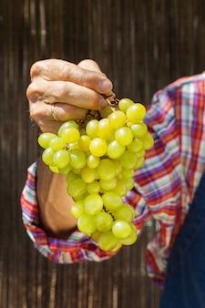 Agricultor sênior segurando colheita de uvas orgânicas