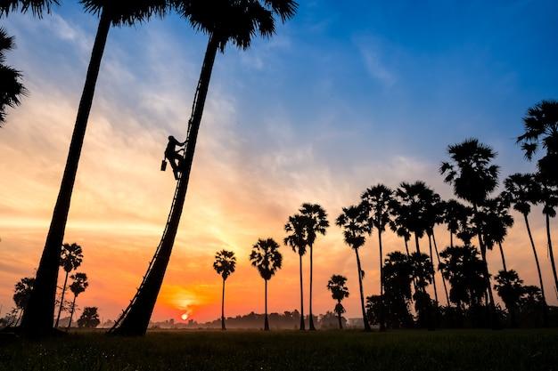 Agricultor subindo na árvore de plam