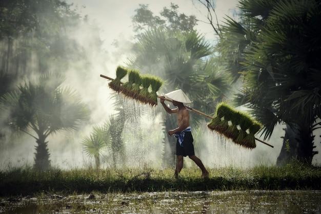 Agricultor, tailandês, agricultor homem, segurando, arroz, bebê, ligado, ombro, andar, em, arroz, campo, agricultura, para, planta