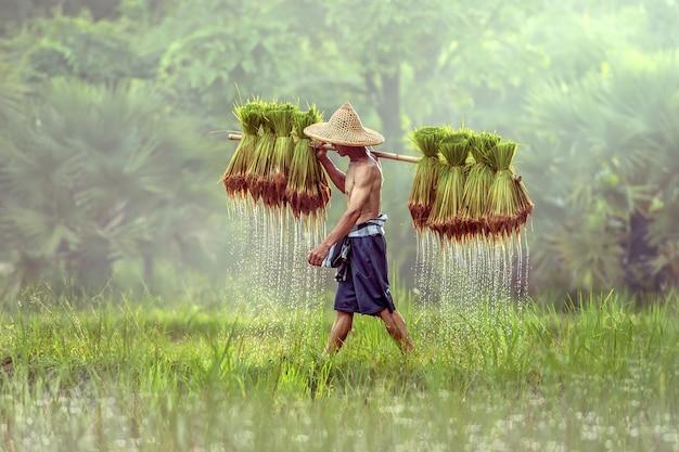 Agricultor tailandês em campos verdes, segurando o bebê de arroz, sakonnakhon, tailândia