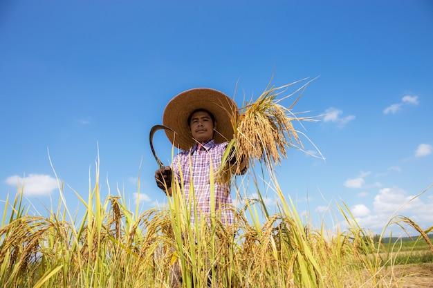 Agricultor tailandês fica com uma foice e colhe arroz no campo.
