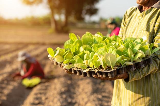 Agricultor tailandês plantar tabaco verde no campo