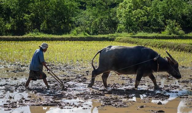 Agricultor tailandês trabalhando com seu búfalo