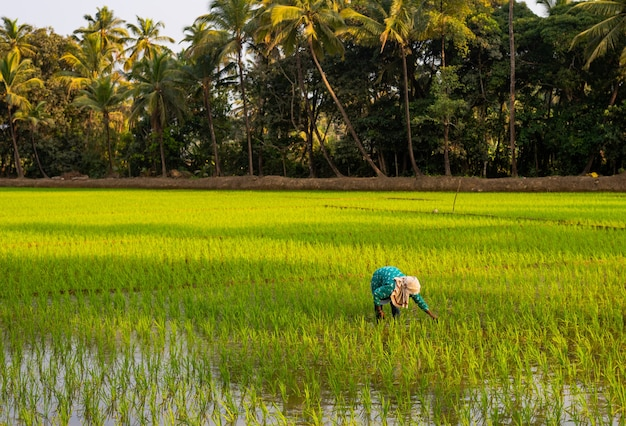 Agricultor trabalhando em um campo de grãos na índia em um dia ensolarado