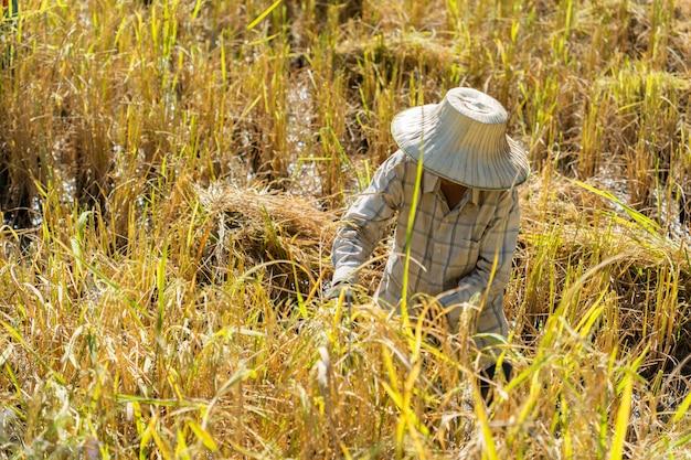 Agricultor usando foice para colher arroz