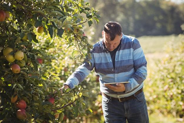 Agricultor, usando, tablete digital, enquanto, inspeccionando, macieira, em, pomar maçã