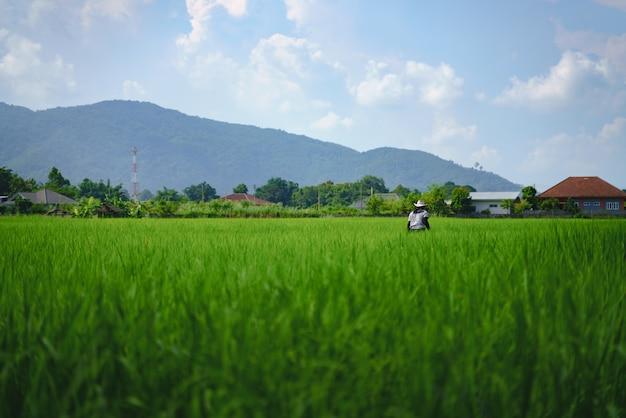 Agricultor verificar campo de arroz de inundação com planta de arroz