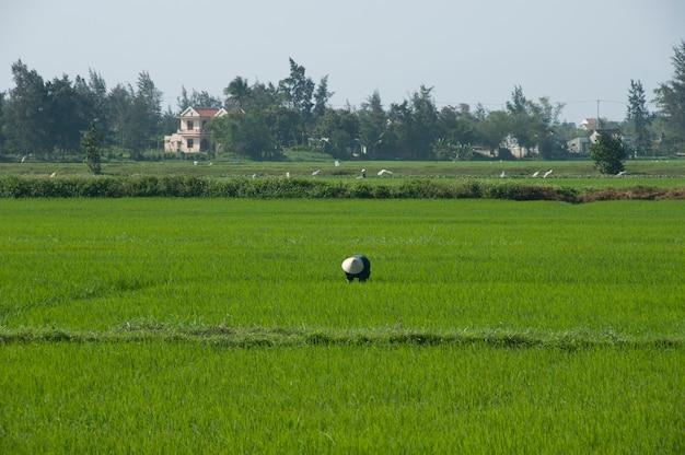 Agricultor vietnamita em um campo de arroz usando o chapéu cônico tradicional e os arredores de hoi