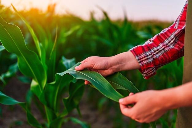 Agricultora agrônoma em um campo verde, segurando uma folha de milho nas mãos e analisando a colheita de milho ao pôr do sol
