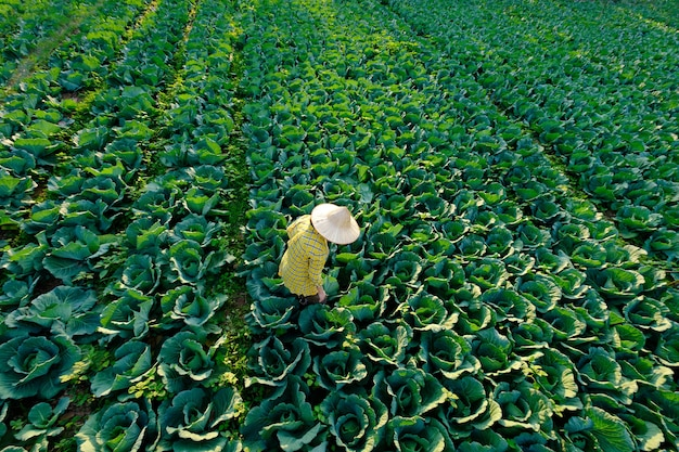 Agricultora com chapéu de palha está fazendo jardinagem e atividade agrícola na plantação de vegetais de repolho