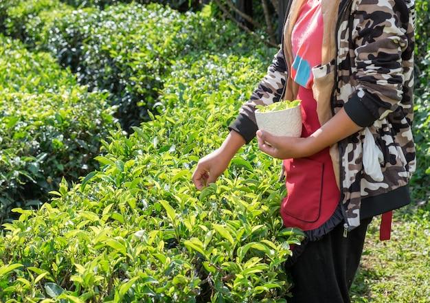 Agricultora da tribo feminina colhendo folhas de chá na plantação