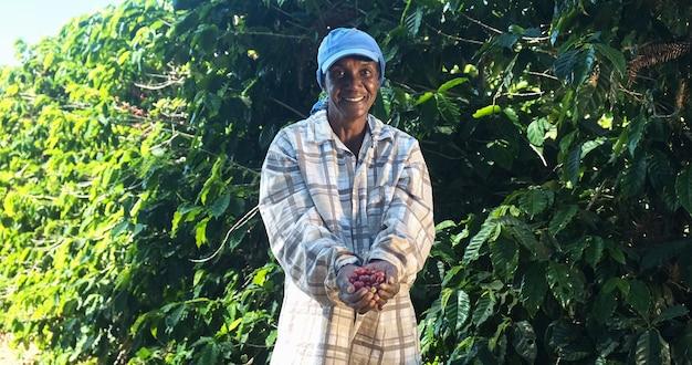 Agricultora de café está colhendo café na fazenda café arábica