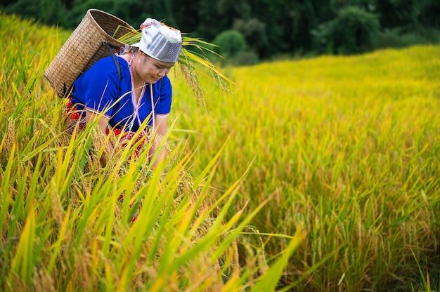 Agricultora do espaço com arroz em casca em um terraço de arroz