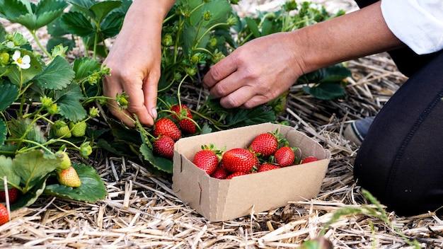 Agricultora está colhendo morango fresco maduro no campo e cuidadosamente o coloca na caixa de papelão.