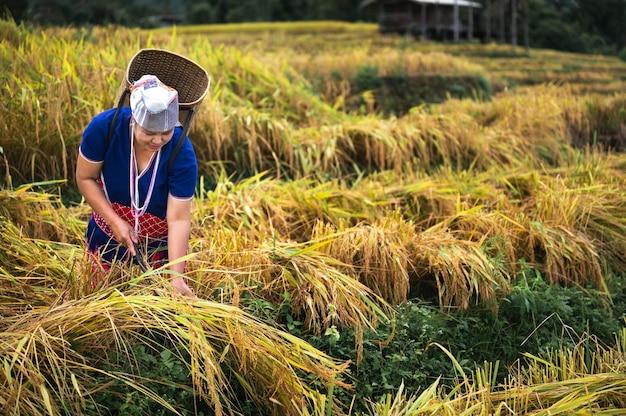 Agricultoras colhem arroz no norte da tailândia