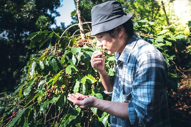 Agricultores asiáticos de meia idade comiam grãos de café frescos da planta