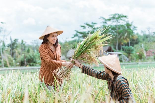 Agricultores asiáticos do sexo masculino dão arroz colhido para agricultoras quando eles colhem juntos nos campos