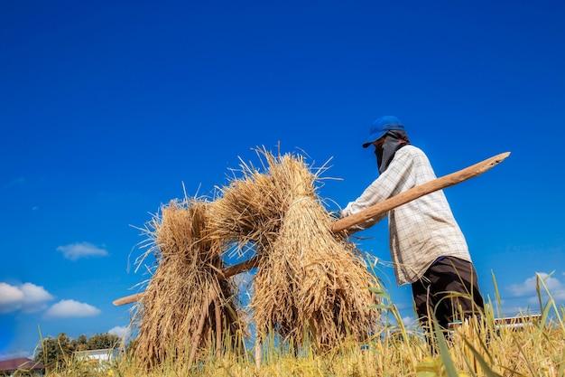 Agricultores colhendo arroz em campos com céu azul.