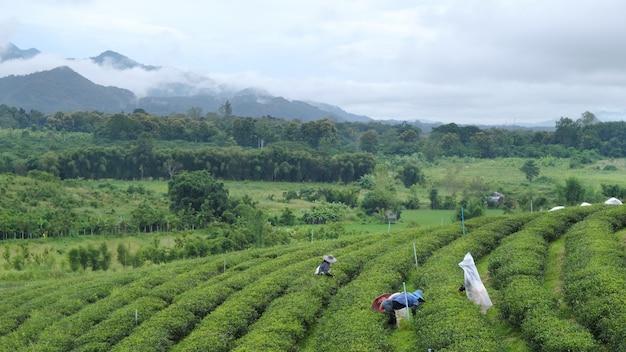 Agricultores colhendo folhas de chá na plantação de chá