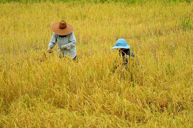Agricultores colhendo plantas de arroz manualmente, região norte da tailândia