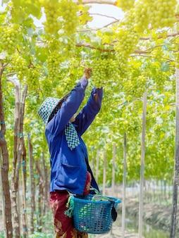 Agricultores cortando uvas brancas na colheita