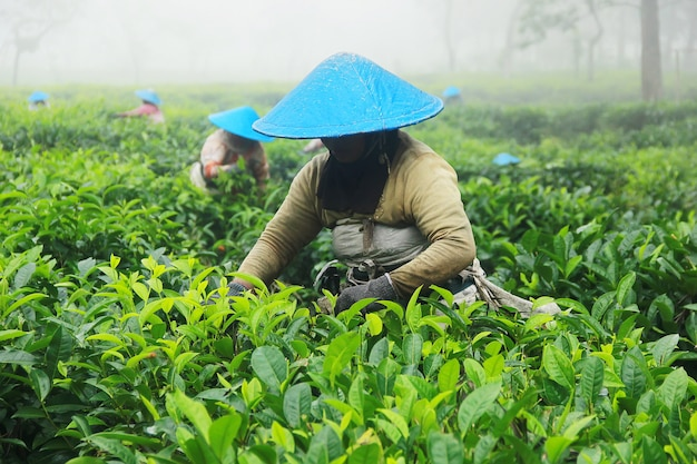 Agricultores de colheita de chá