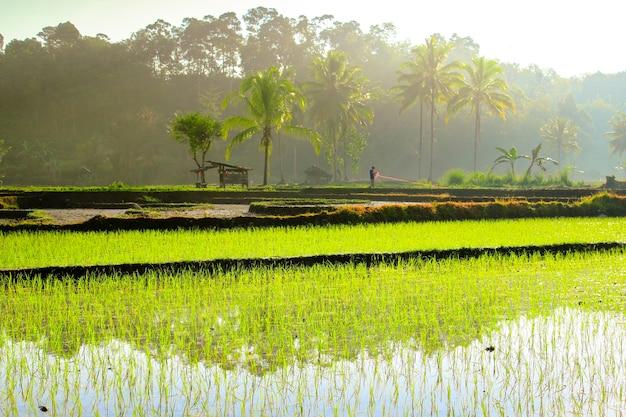 Agricultores de manhã nos campos de arroz