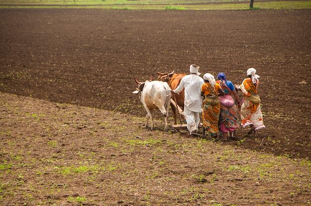 Agricultores e trabalhadores estão arando e semeando campos agrícolas da maneira tradicional com a ajuda de touros