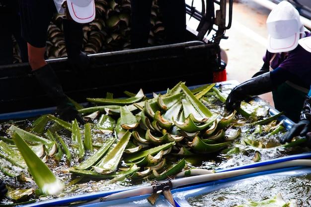 Agricultores em acres de aloe com o cultivo de aloe vera na tailândia