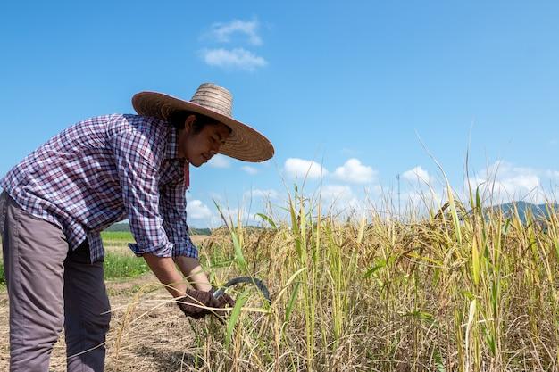 Agricultores estão colhendo arroz em um dia claro
