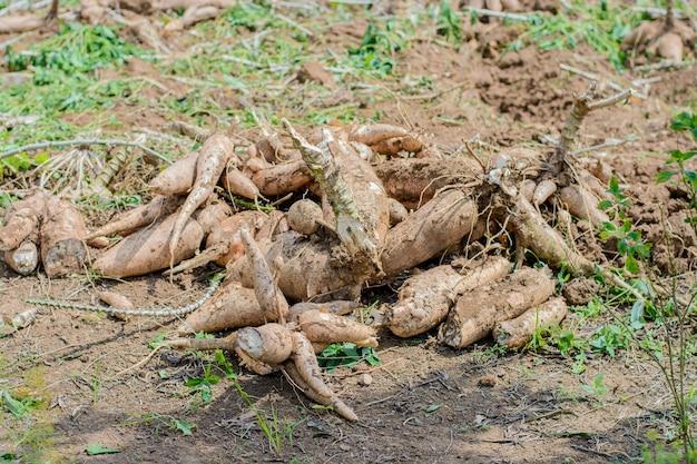Agricultores estão colhendo produtos agrícolas da mandioca