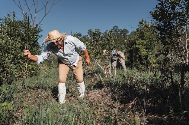 Agricultores locais trabalhando na terra em uma plantação de erva-mate.