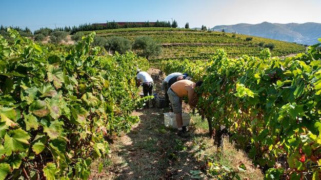 Agricultores na colheita colhendo as uvas
