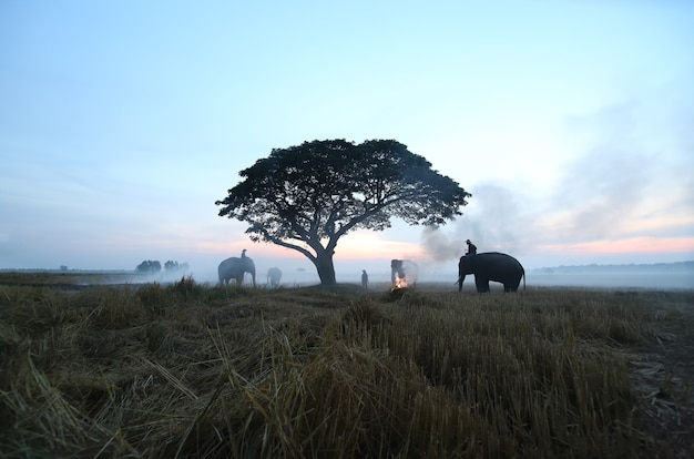 Agricultores na tailândia. campo da tailândia; elefante de silhueta no fundo por do sol, elefante tailandês em surin, tailândia.