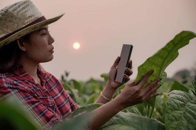 Agricultores, plantio, tabaco, usam laptop, inspecionam a qualidade das folhas de tabaco, conceitos de tecnologia