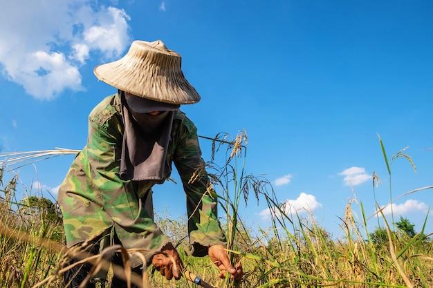 Agricultores que colhem arroz