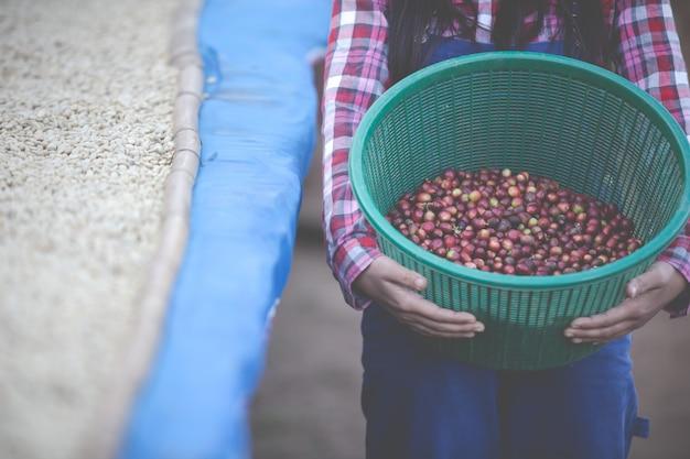 Agricultores que cultivam mulheres estão felizes em secar os grãos de café