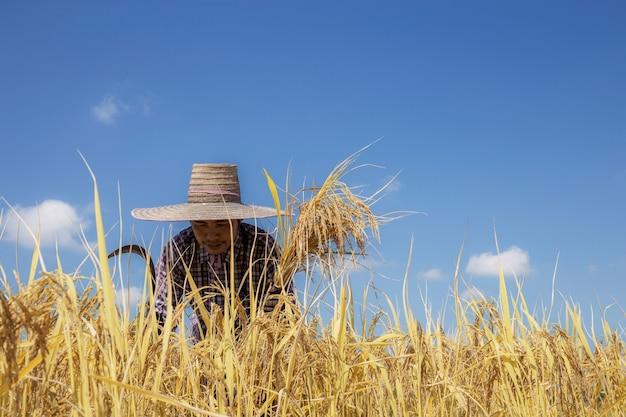 Agricultores tailandeses colhendo arroz em campos de arroz com céu azul.
