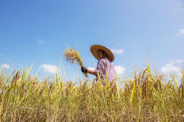 Agricultores tailandeses em campos de arroz com o céu azul.
