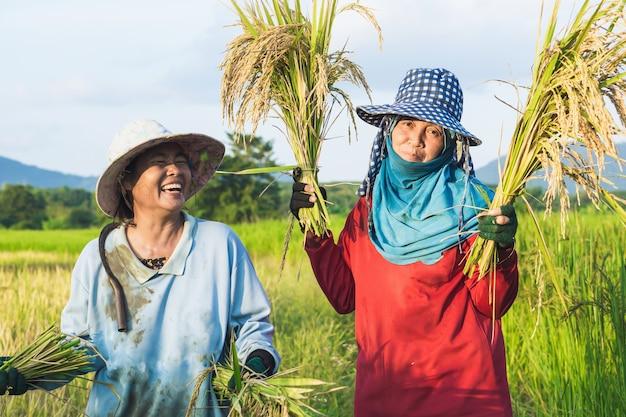 Agricultores tailandeses feliz trabalhando no campo de arroz