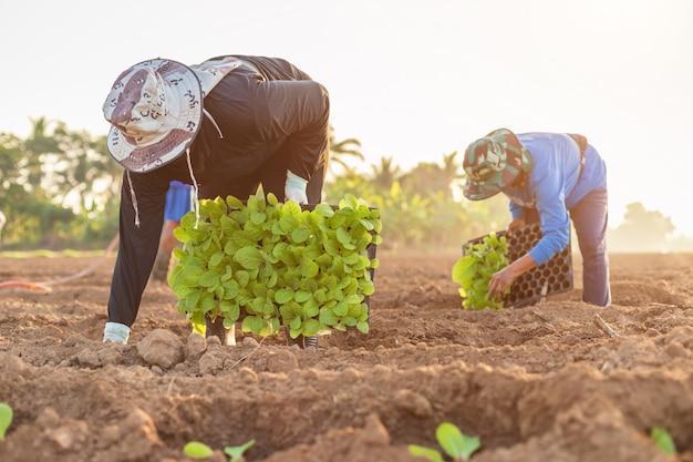 Agricultores tailandeses plantar tabaco verde no campo